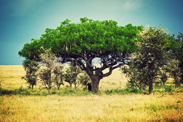 Szavanna tájkép Afrika Serengeti Tanzánia kolbász Stock fotó © photocreo