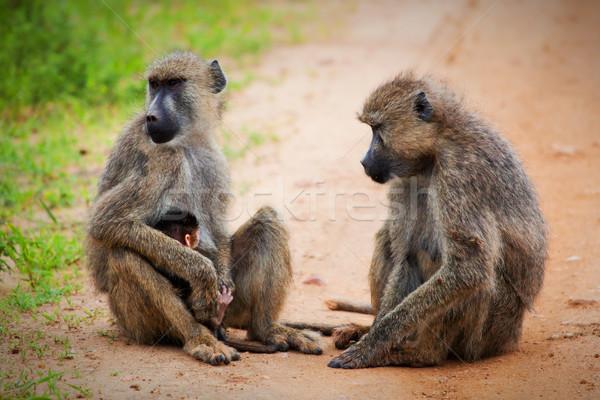 Baboon monkeys in African bush. Tsavo West, Kenya Stock photo © photocreo