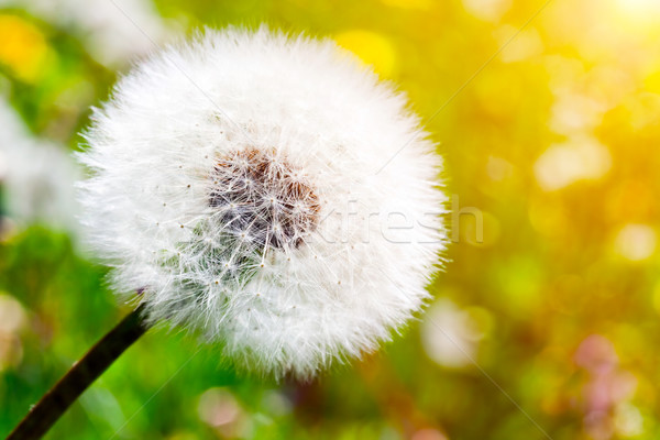 Close-up of dandelion on green sunny meadow. Spring Stock photo © photocreo