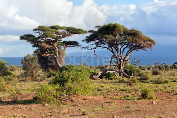 Savanna landscape in Africa, Amboseli, Kenya  Stock photo © photocreo