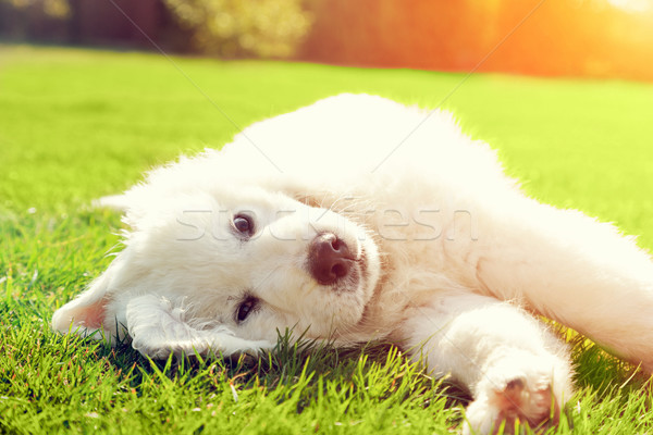 Cute witte puppy hond gras herdershond Stockfoto © photocreo