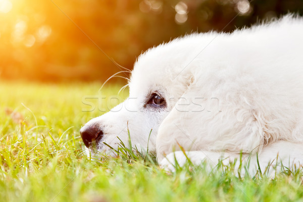 Cute white puppy dog lying on grass. Polish Tatra Sheepdog Stock photo © photocreo