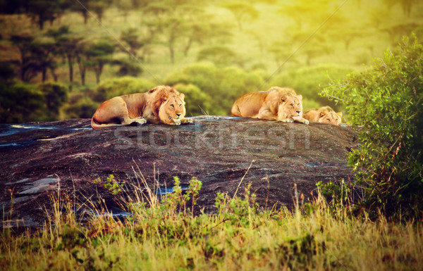 Lions on rocks on savanna at sunset. Safari in Serengeti, Tanzania, Africa Stock photo © photocreo