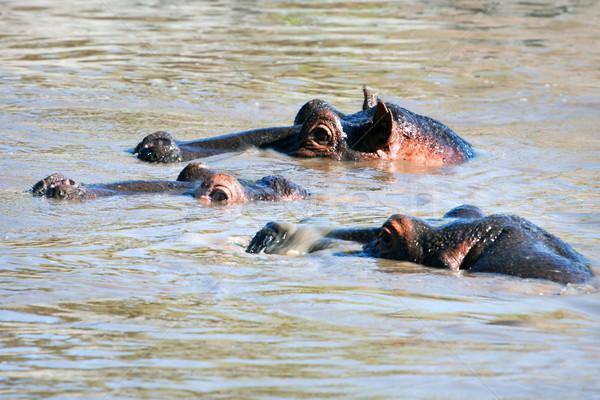 гиппопотам бегемот группа реке Серенгети Танзания Сток-фото © photocreo