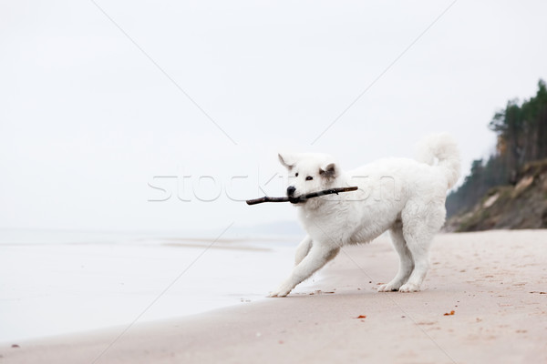 Cute white dog playing with stick on the beach. Polish Tatra Sheepdog Stock photo © photocreo