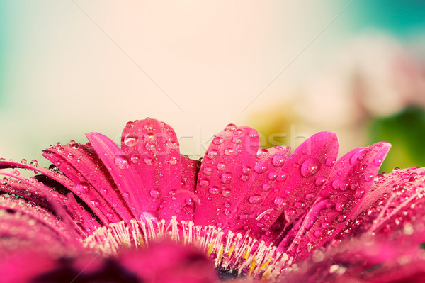 Fresh wet gerbera flower close-up at spring. Vintage background Stock photo © photocreo