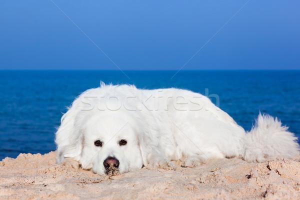 Cute белый собака пляж овчарка морем Сток-фото © photocreo