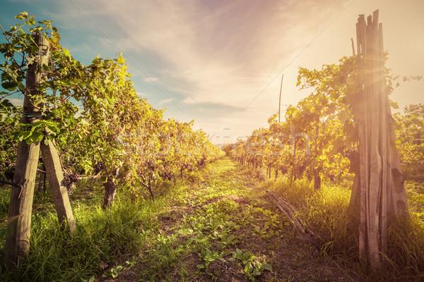 Vigneto Toscana Italia vino farm tramonto Foto d'archivio © photocreo