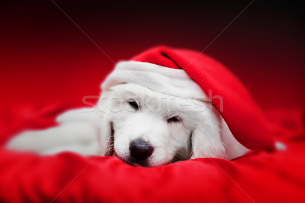 Cute white puppy dog in Chrstimas hat sleeping in red satin Stock photo © photocreo