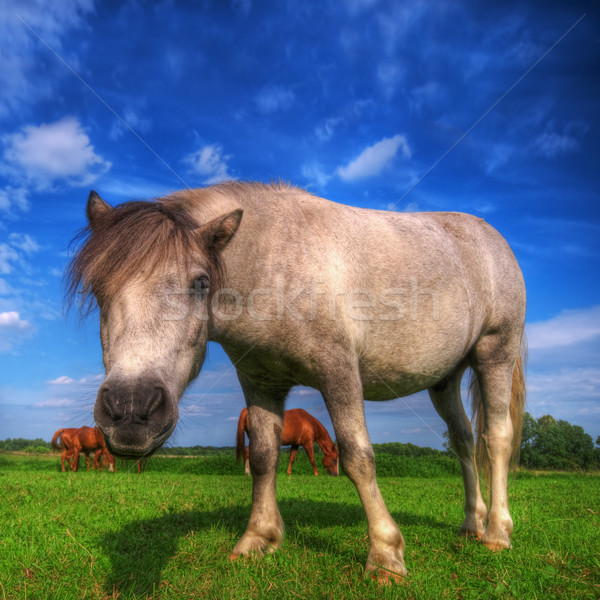 Wild young horse on the field Stock photo © photocreo