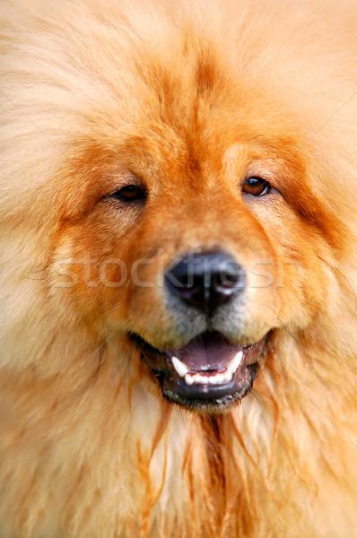 портрет красивой собака мягкой счастливым весело Сток-фото © photocreo