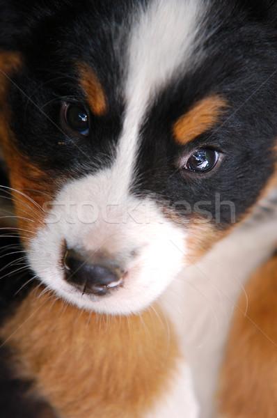 Retrato boyero de berna primer plano cachorro perro fondo Foto stock © photocreo