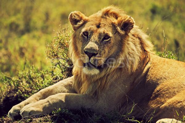 Fiatal felnőtt férfi oroszlán szavanna szafari Serengeti Stock fotó © photocreo
