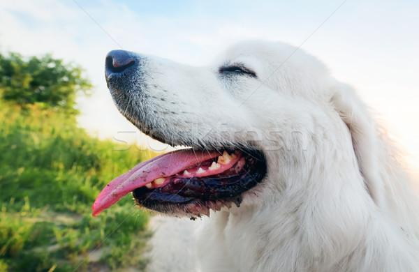 Hond veld herdershond gelukkig grappig Stockfoto © photocreo