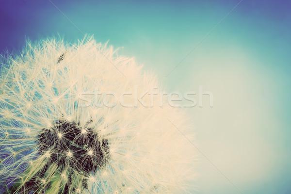 Close-up of dandelion, blue sky. Vintage spring background Stock photo © photocreo