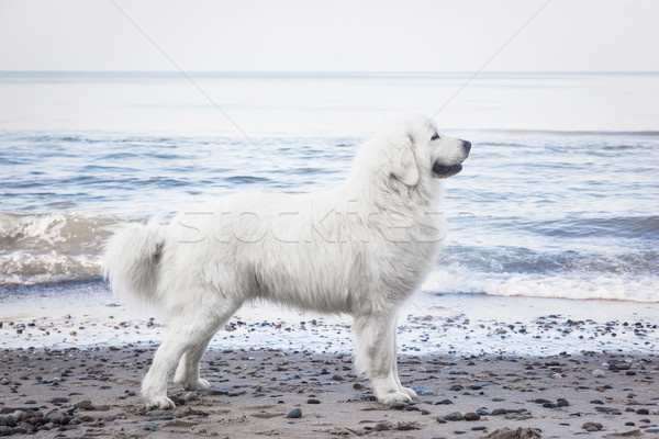Herdershond ras hond lichaam winter Stockfoto © photocreo
