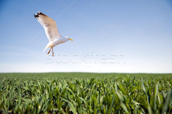 Bird flying over green grass Stock photo © photocreo