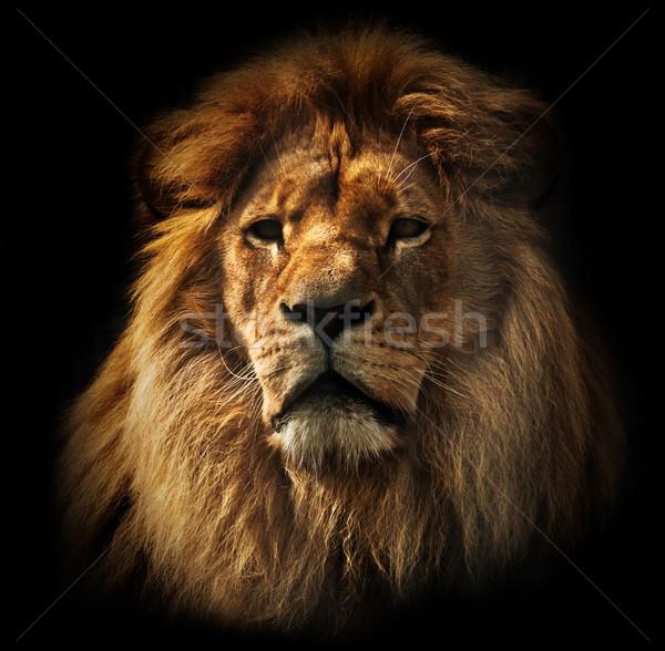 Lion portrait with rich mane on black Stock photo © photocreo