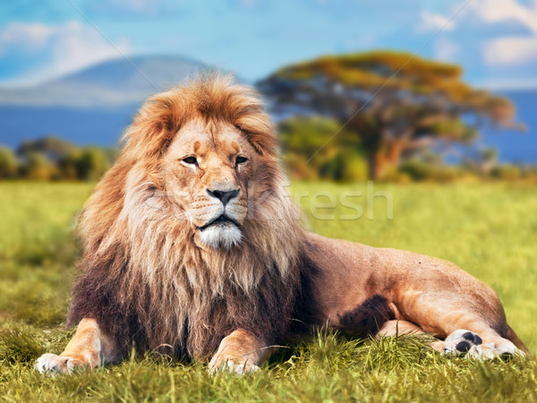 Stock photo: Big lion lying on savannah grass