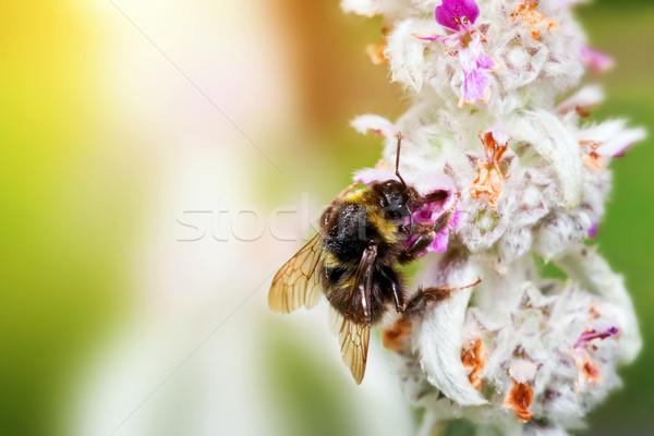 Trzmiel Pszczoła pyłek kwiat posiedzenia słoneczny Zdjęcia stock © photocreo
