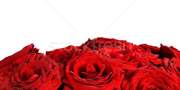 Piros nedves rózsák virágok izolált fehér Stock fotó © photocreo