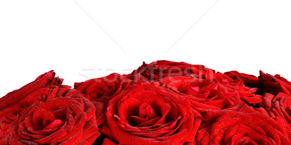 Red wet roses flowers isolated on white background. Stock photo © photocreo