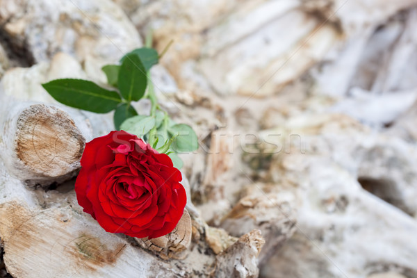 Red rose on the beach. Love, romance, melancholy concepts. Stock photo © photocreo