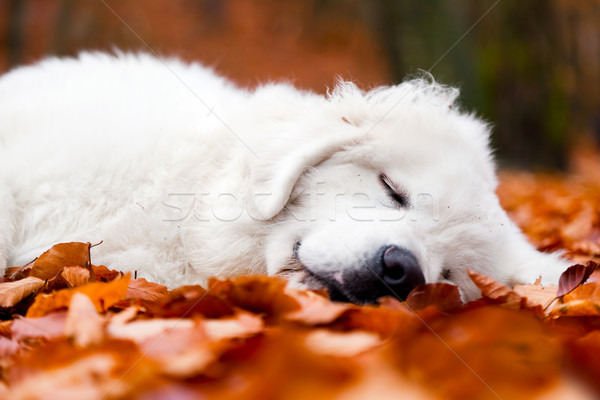 Cute white puppy dog sleeping in leaves in autumn forest Stock photo © photocreo