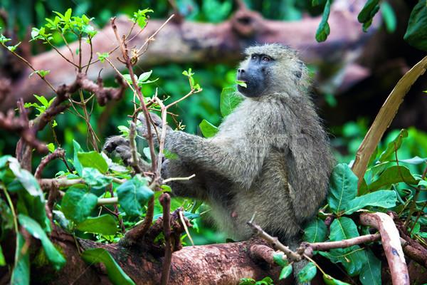 бабуин обезьяны африканских Буш озеро парка Сток-фото © photocreo