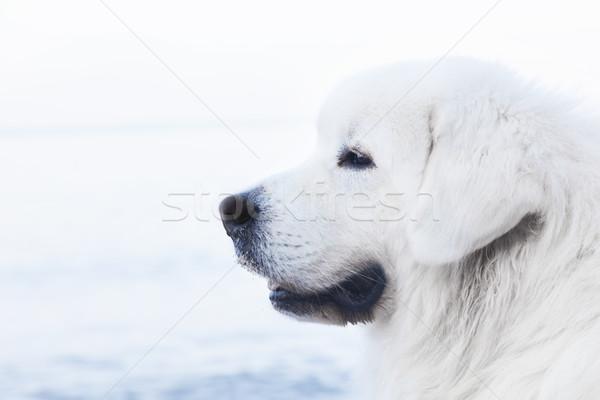 Herdershond portret ras strand hond Stockfoto © photocreo