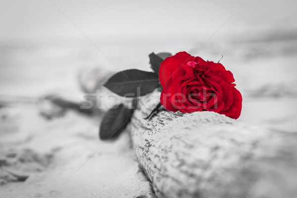 Red rose on the beach. Color against black and white. Love, romance, melancholy concepts. Stock photo © photocreo