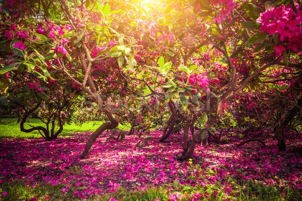 магнолия деревья цветы парка солнце Сток-фото © photocreo