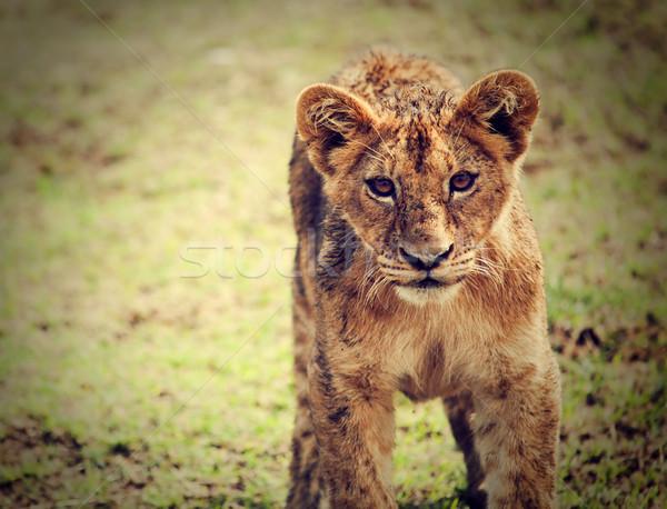 Wenig Löwen Porträt Tansania Afrika Stock foto © photocreo