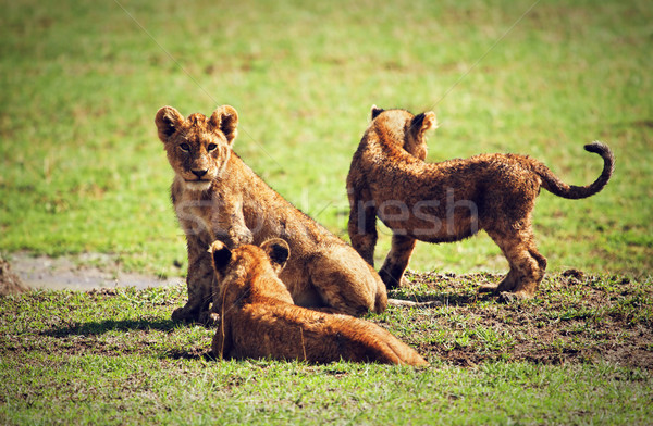 Small lion cubs playing. Tanzania, Africa Stock photo © photocreo