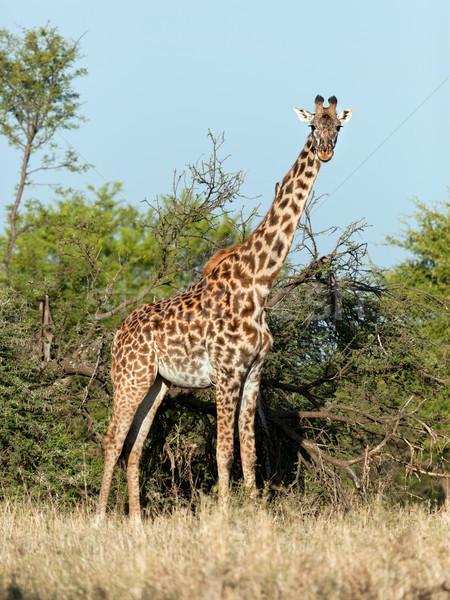 Zsiráf szavanna szafari Serengeti Tanzánia Afrika Stock fotó © photocreo