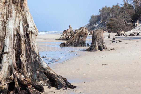 évek öreg fa alsónadrágok tengerpart vihar Stock fotó © photocreo