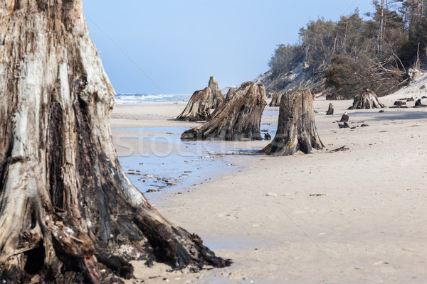 Jaren oude boom strand storm Stockfoto © photocreo