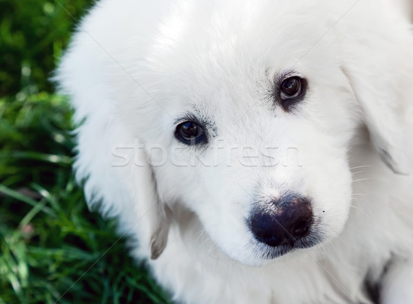 Cute white puppy dog portrait. Polish Tatra Sheepdog Stock photo © photocreo