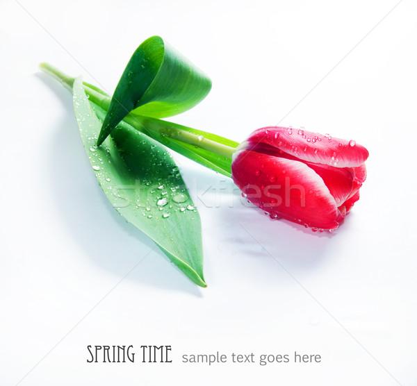 свежие весны Tulip белый капли воды цветок Сток-фото © photocreo