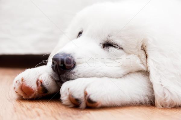 Cute witte puppy hond slapen Stockfoto © photocreo