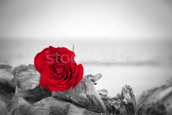 Stock photo: Red rose on the beach. Color against black and white. Love, romance, melancholy concepts.