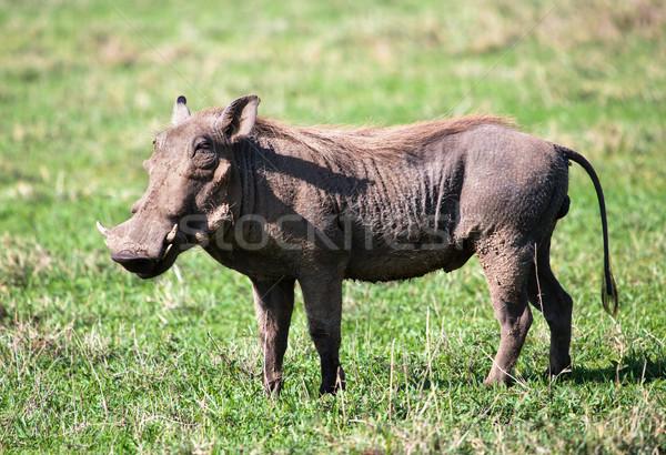 Savanne krater Tanzania afrika portret gras Stockfoto © photocreo