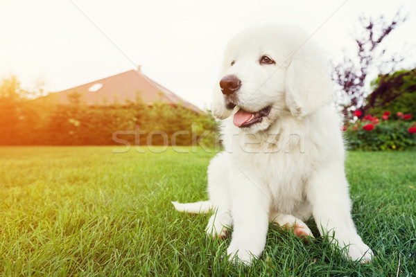 Cute witte puppy hond vergadering gras Stockfoto © photocreo
