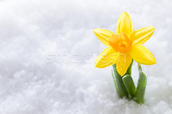 Crocus flower growing form snow. Spring start Stock photo © photocreo