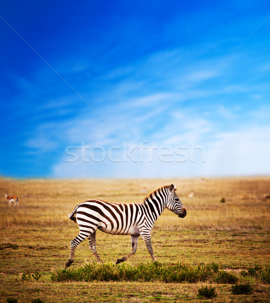 Zebra on African savanna. Stock photo © photocreo