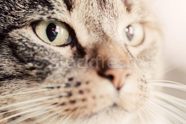 Aranyos macska közelkép portré fókusz mágneses Stock fotó © photocreo
