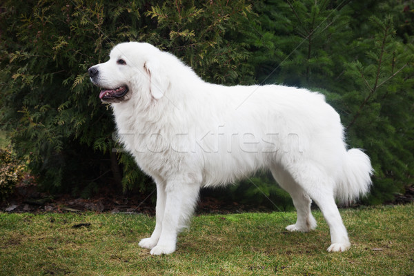Polish Tatra Sheepdog. Role model in its breed. Also known as Podhalan  Stock photo © photocreo