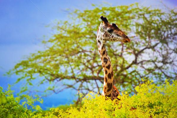 Giraffe in bush. Safari in Tsavo West, Kenya, Africa Stock photo © photocreo