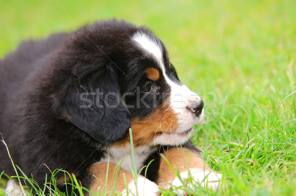Retrato boyero de berna cachorro naturales paisaje espacio de la copia Foto stock © photocreo