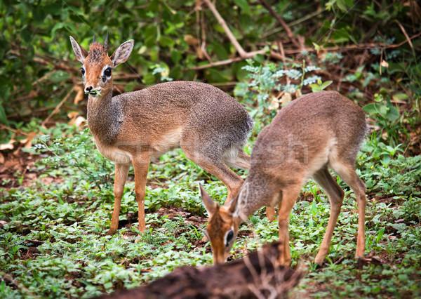 çift Tanzanya Afrika göl park çim Stok fotoğraf © photocreo